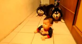 Crawling Baby Races Huskies and It's Too Precious (VIDEO)