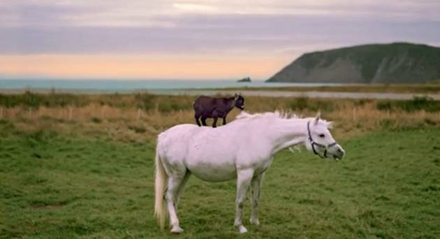 Goat Rides Horse in Newfoundland and Now We Want to Go to there (VIDEO)