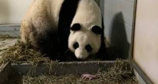 Atlanta's Giant Panda Gives Birth to Twins: First in the U.S. in 26 Years! (VIDEO)