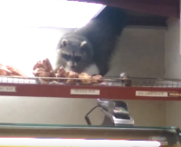 Doughnut Raccoon