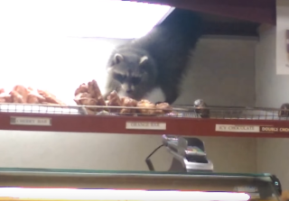 Doughnut Raccoon Is Pizza Rat Meets Ariana Grande (VIDEO)