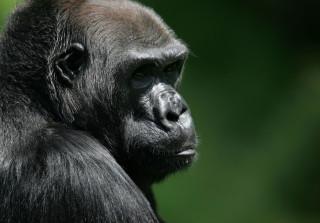 Cincinnati Zoo, Western lowland gorilla