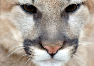 Mom Fights Off Mountain Lion to Save 5-Year-Old Son