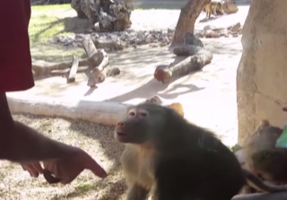 Baboon Has Hilarious Reaction to Classic Magic Trick (VIDEO)