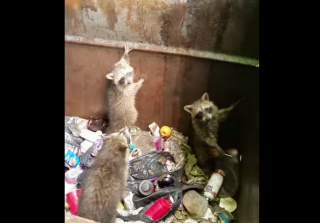 Three Raccoons Caught Red-Handed Hilariously Throw Their Hands in the Air (VIDEO)
